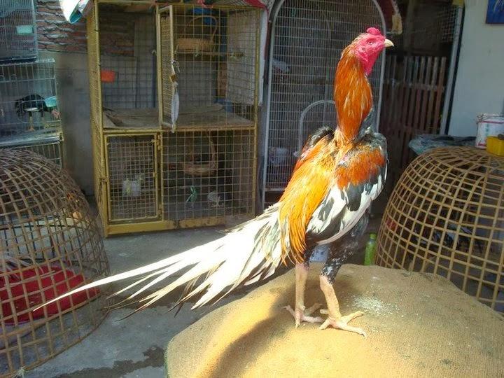 Ciri-Ciri-Ayam-Aduan-Berkualitas-Di-Lihat-Dari-Ekor