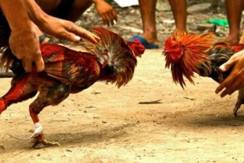 Jenis-Jenis-Ayam-Aduan-Yang-Berasal-Dari-Filipina