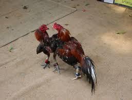 Jenis-Jenis-Ayam-Aduan-Yang-Populer-Pada-Saat-Ini