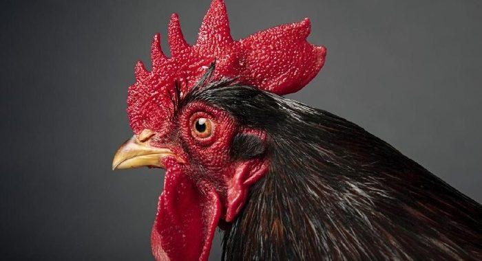 Jenis-Jenis-Jengger-Ayam-Petarung-Juara