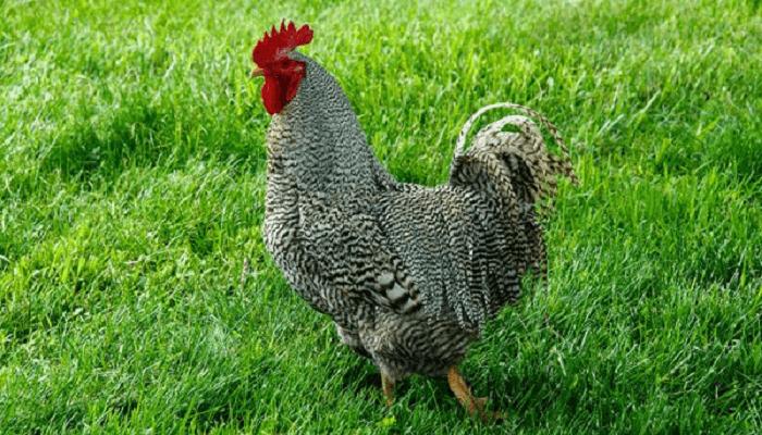 Keunikan-Dan-Jenis-Jenis-Ayam-Plymouth-Rock