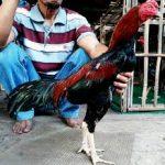 Mengenal Ayam Pamagon Yang Masih Jarang Diketahui