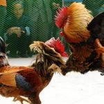 Mengenal Teknik Solah Ayam Aduan