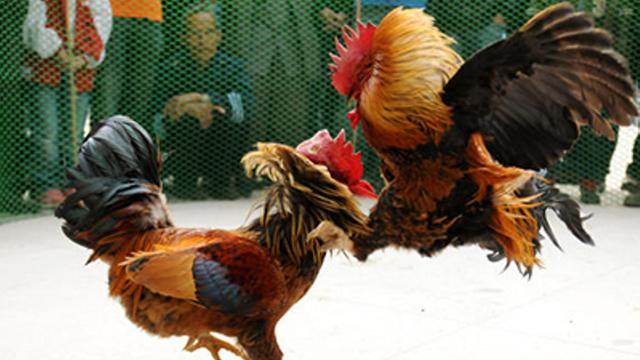 Mengenal-Teknik-Solah-Ayam-Aduan