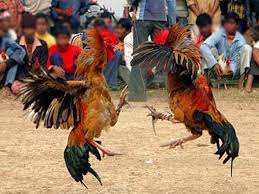 Penyebab-Dan-Cara-Mengatasi-Ayam-Aduan-Mental-Lemah