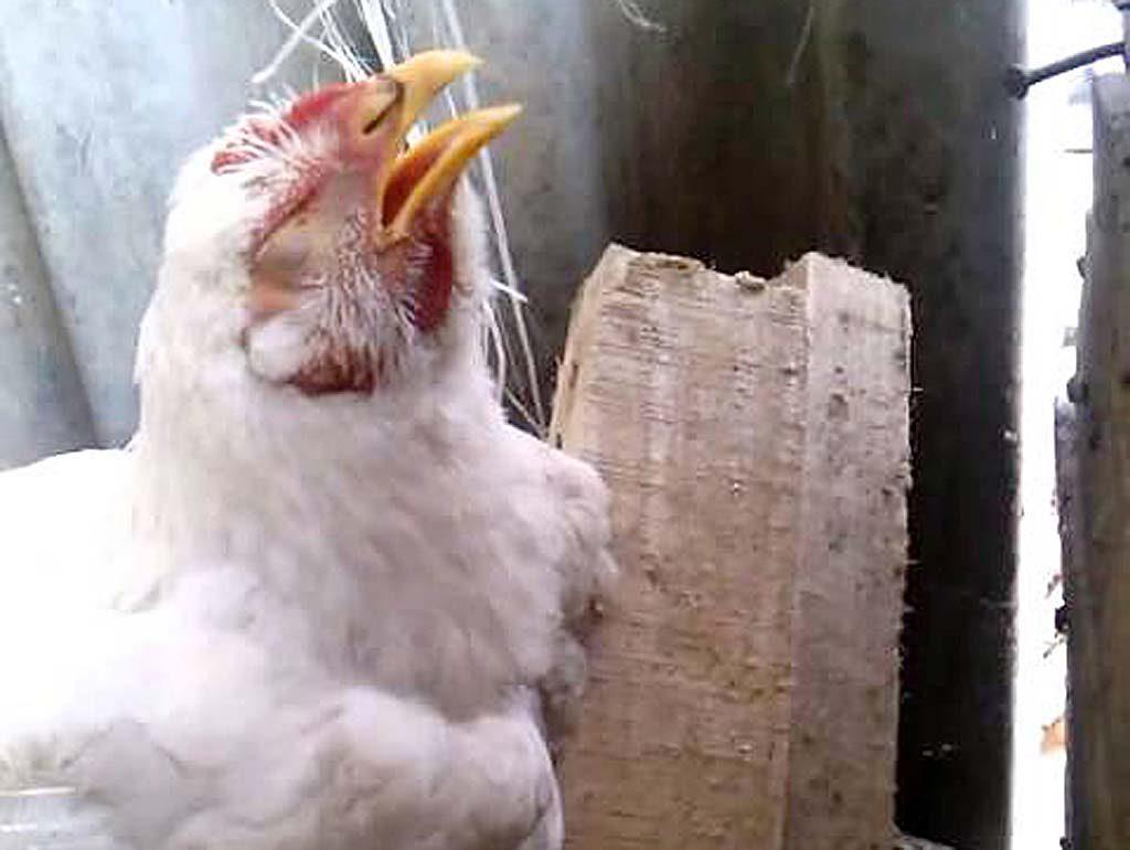 Penyebab-Penyakit-Ngprok-Ayam-Aduan-Dan-Cara-Pengobatannya