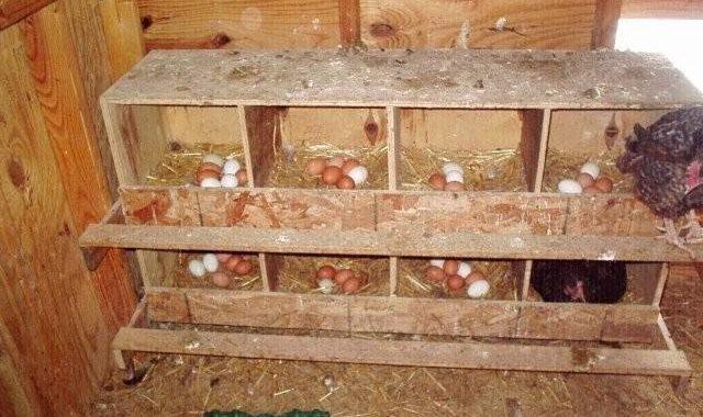 Standart-Kandang-Ideal-Untuk-Pengeraman-Telur-Ayam-Aduan