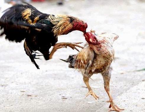 Tips-Dan-Cara-Mudah-Dalam-Memelihara-Ayam-Aduan
