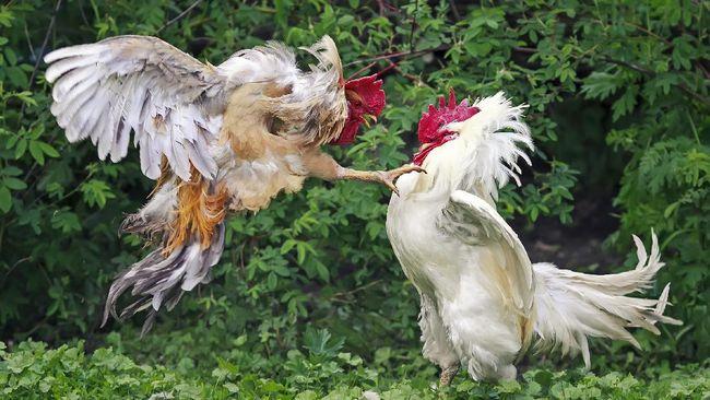 Cara-Melatih-Ayam-Aduan-Melakukan-Serangan-Dari-Atas