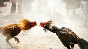 Cara-Memperkuat-Leher-Ayam-Bangkok