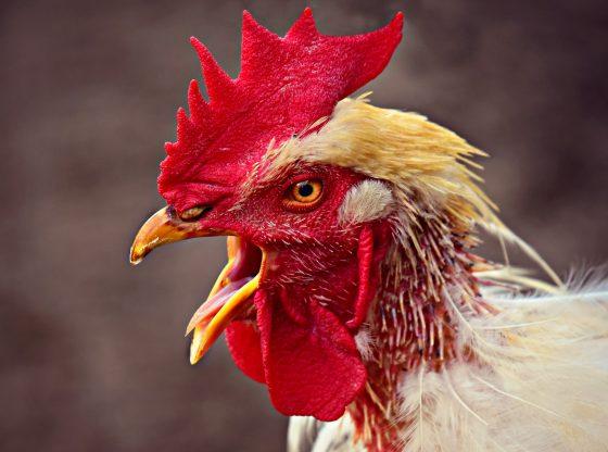 Cara-Mengatasi-Penyakit-Ngorok-Ayam-Aduan