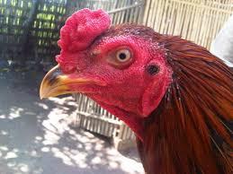 Ciri-Dari-Paruh-Ayam-Aduan-Juara