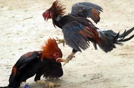 Faktor-Penting-Dalam-Otot-Dan-Stamina-Ayam-Aduan