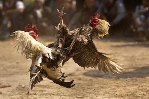 Fungsi-Pemberian-Air-Pada-Ayam-Aduan-Saat-Berlaga