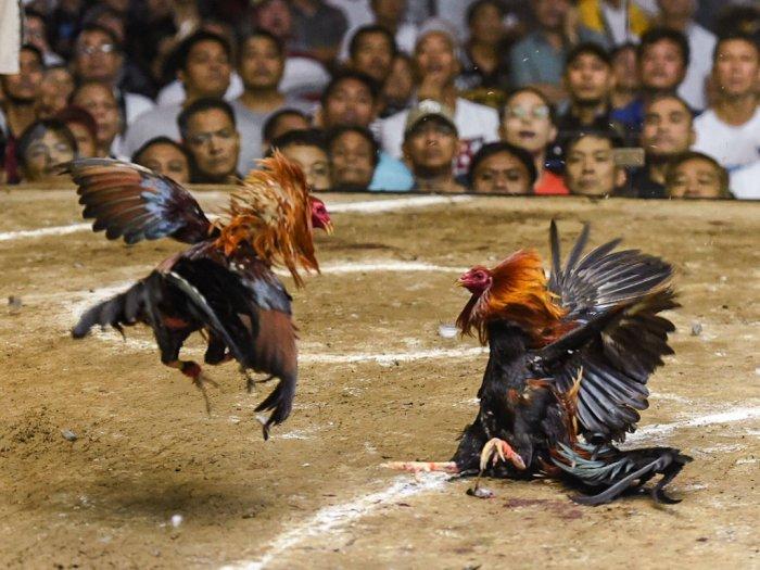 Istilah-BDD-Dan-FTD-Dalam-Permainan-Sabung-Ayam
