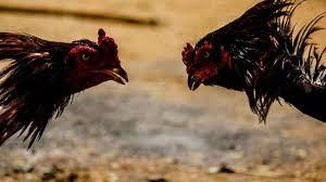Jamu-Stamina-Yang-Cocok-Untuk-Ayam-Aduan-Siap-Bertanding
