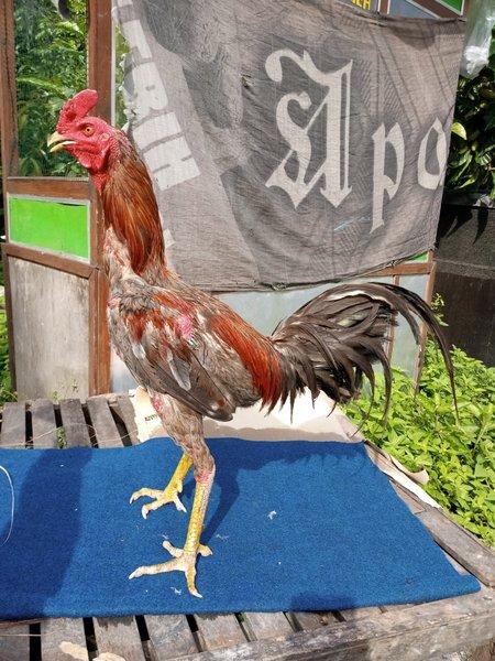 Jenis-Jenis-Ayam-Aduan-Pama-Yang-Banyak-Dicari