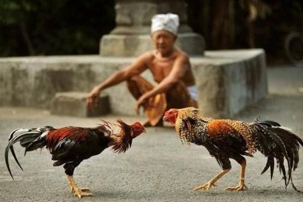 Jenis-Jenis-Ayam-Aduan-Terbaik-Asal-Indonesia