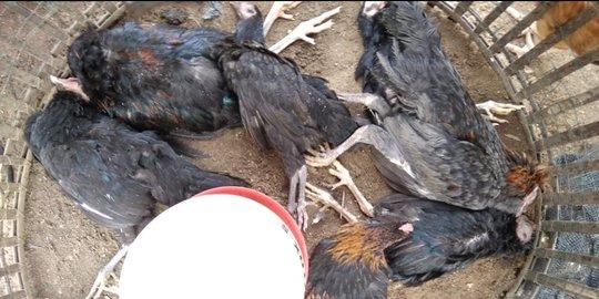 Jenis-Jenis-penyakit-Mematikan-Bagi-Ayam-Aduan