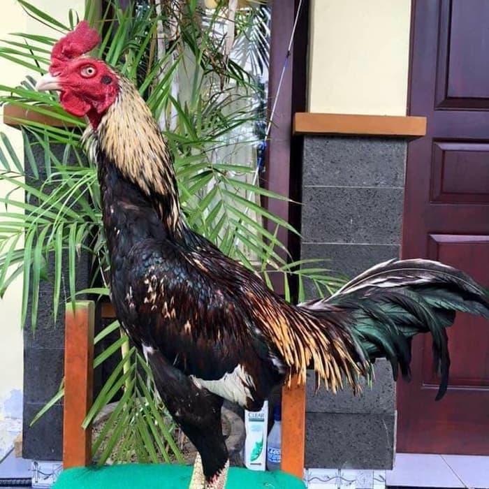 Kelebihan-Ayam-Aduan-Pama-Di-Dalam-Arena