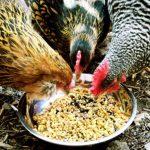Pakan Ayam Aduan Yang Bisa Menanmbah Stamina Ayam