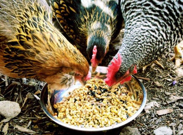 Pakan-Ayam-Aduan-Yang-Bisa-Menanmbah-Stamina-Ayam