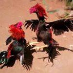 Pelatihan Dan Pemberian Asupan Dalam Membuat Ayam Aduan Ganas