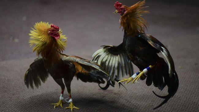 Pelatihan-Dan-Perawatan-Ayam-Dewasa-Siap-Memasuki-Arena-Laga