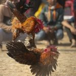 Penampakan Ayam Bangkok Yang Siap Bertarung