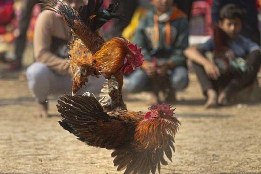 Penampakan-Ayam-Bangkok-Yang-Siap-Bertarung