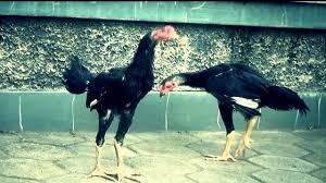 Penyebab-Penyebab-Ayam-Aduan-Susah-Gemuk