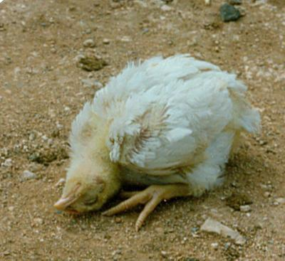 Perawatan-Terbaik-Dalam-Mengatasi-Ayam-Aduan-Berak-Kapur