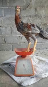 Tips-Perawatan-Ayam-Aduang-Susah-Gemuk