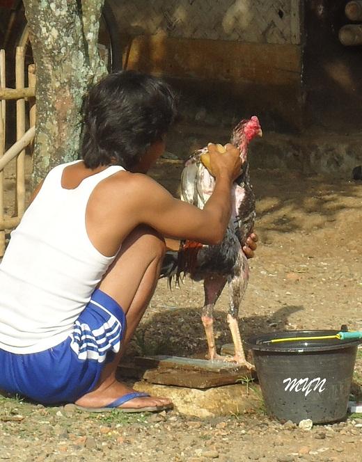 Tujuan-Dari-Memandikan-Ayam-Aduan