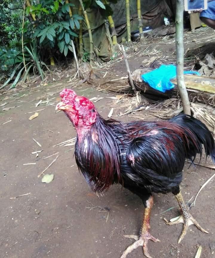 Cara-Mengobati-Luka-Dalam-Dan-Luka-Luar-Ayam-Aduan