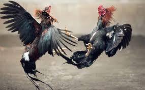 Cara-Pemberian-Terapi-Mental-Ayam-Aduan-Yang-Jatuh